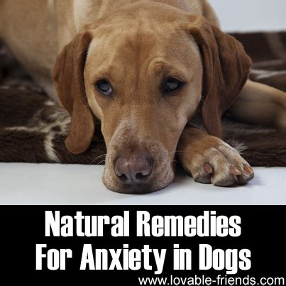 herbs for dogs remedies for anxiety in dogs lovable friends