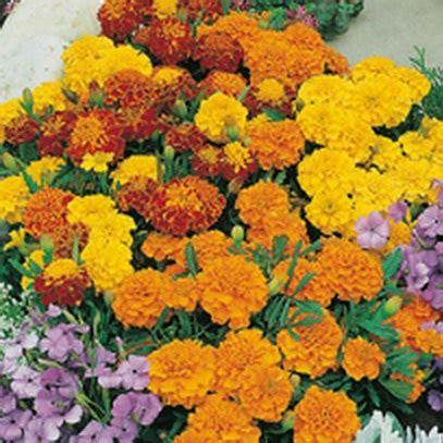 Benih Bunga Marigold T1310 3 benih marigold bonita mixed 15 biji non retail