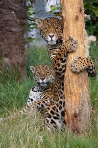 How Do Jaguars Reproduce Jaguar Facts Animal Facts Encyclopedia