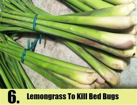 home remedies to kill bed bugs bed bug eggs kill alcohol bangdodo