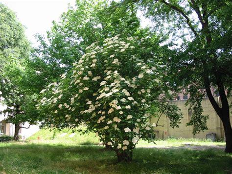 il giardino sfumato sambuco fiori come pizzi