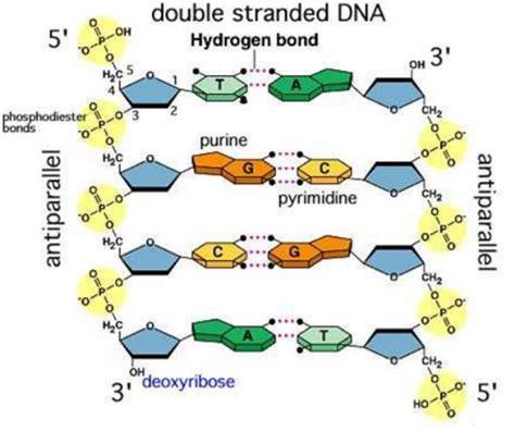 cantidad de cadenas del adn 193 cidos nucleicos y prote 237 nas imperio de la ciencia