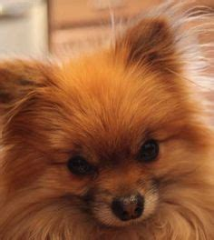 how do teacup puppies live future pets on teacup pomeranian pomeranians and teacup pomeranian puppy