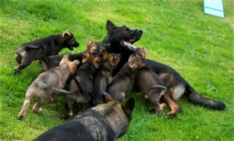 ddr east german shepherd puppies for sale ddr german shepherd puppies for sale working german shepherd puppies