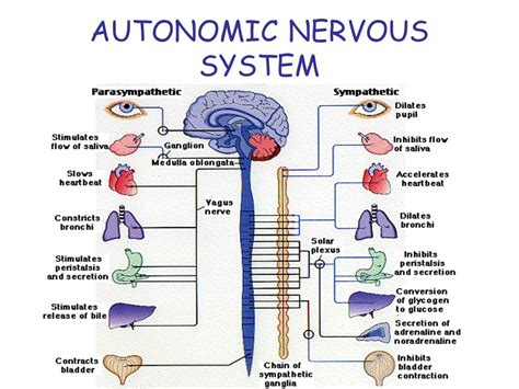 section 35 2 the nervous system ch 35 the nervous system ppt video online download