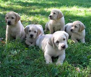 Labrador retriever puppies for sale jpg