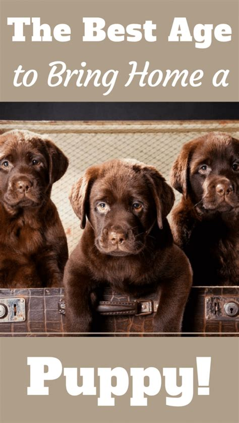 best age to a puppy what s the best age to bring a labrador puppy home