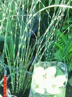 Jual Bibit Anggrek Ekor Tupai jual tanaman ekor tupai tanamanbaru