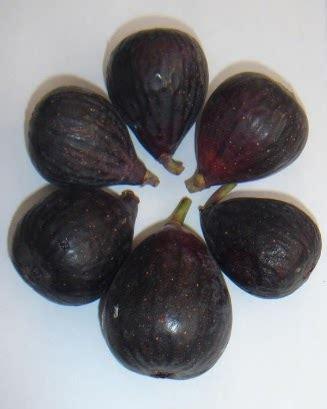 Bibit Buah Ara Tin Black Negro negrone pohon buah tin
