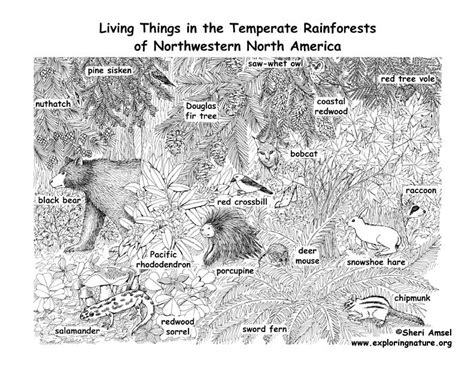 temperate rainforest coloring pages temperate rainforests