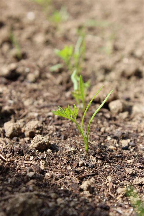 Semi De Carotte carottes semis entretien et r 233 colte au potager