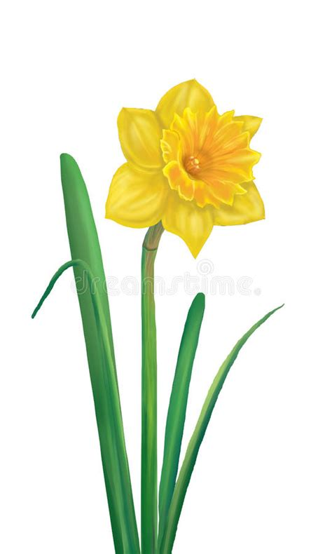 daffodil yellow flower stock illustration image of