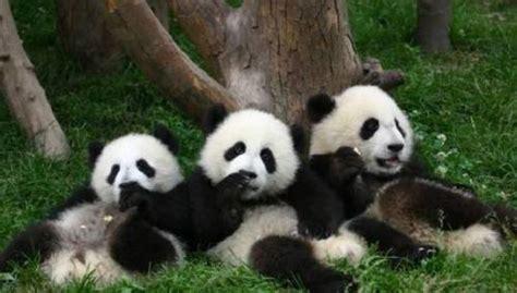 Panda Lucu foto gambar panda lucu 36 lu kecil