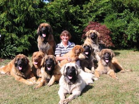 breed leonberger leonberger info puppies temperament care pictures