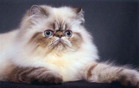 gatti persiani foto gatto persiano foto di cuccioli persiani centrinno