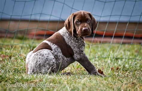german shorthaired pointer puppies rescue brad pitt wallpaper