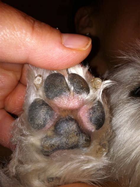 irritated paws swollen eye white breeds picture