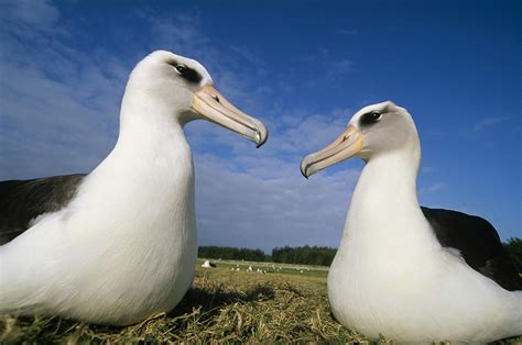 laysan albatross pair hawaii photograph by tui de roy