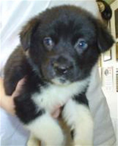 bearded collie golden retriever mix save a inc