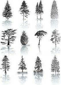 types of pine trees listed with awesome pictures pine