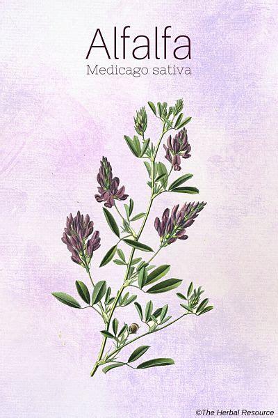 Herbal Alfalfa alfalfa health benefits and side effects