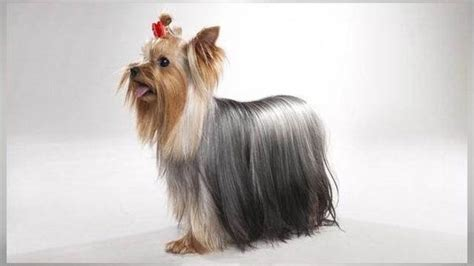 how does a yorkie stay what does a grown teacup yorkie look like quora