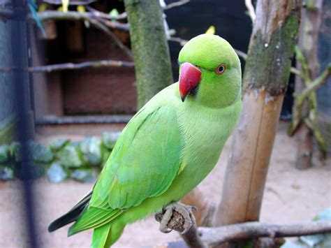 green indian ring necked parakeet parrot birds wallpapers