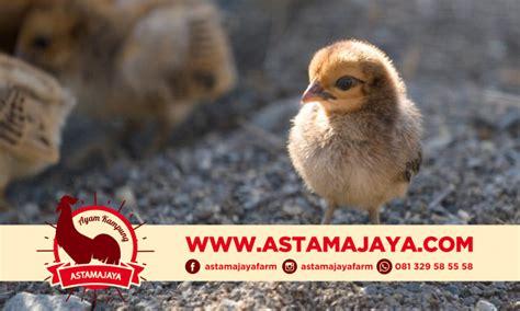 Tempat Beli Pakan Ternak Jakarta 081329585558 jual ayam kung organik kualitas terbaik