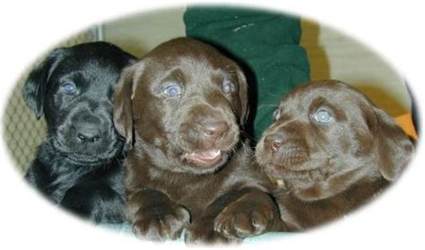 lab puppies for sale in richmond va chocolate lab breeders richmond va dogs in our photo