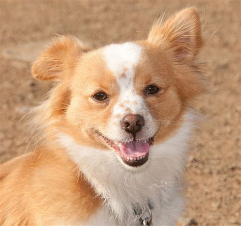 corgi mixed with pomeranian pomeranian corgi mix