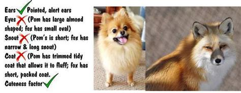 throwback pomeranian lifespan pomeranian and fox comparison and differences