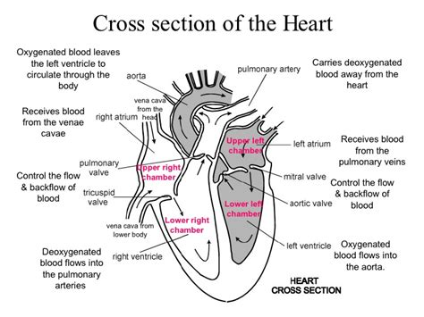 cross section of the heart ib biology the heart