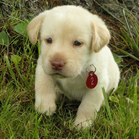 dudley lab puppies for sale yellow lab puppies for sale