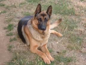 le berger les chiens bergers allemand