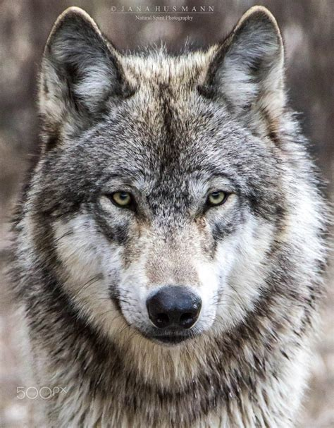 of a wolf timber wolf portrait animal wildlife photography