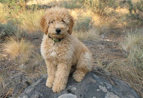 goldendoodle hair types 130 best images about golden doodle grooming styles on