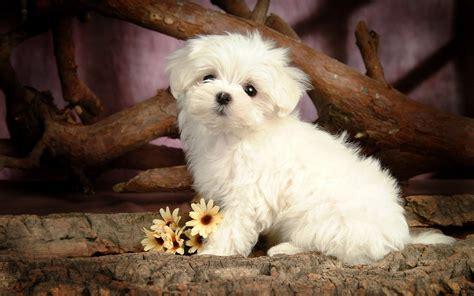 maltese wallpapers pets cute  docile