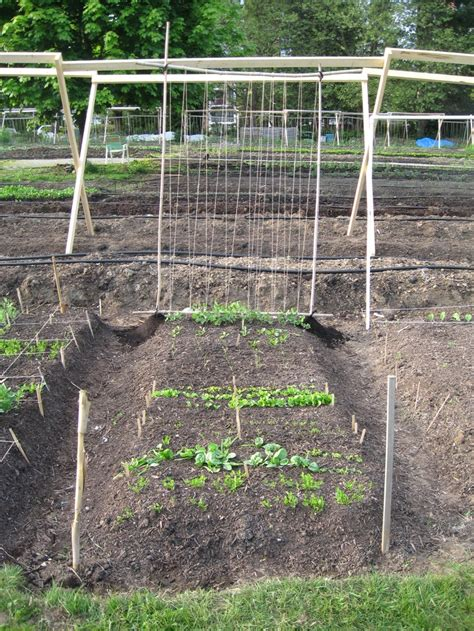 trellis for peas trellis for sugar snap peas gardening outdoors