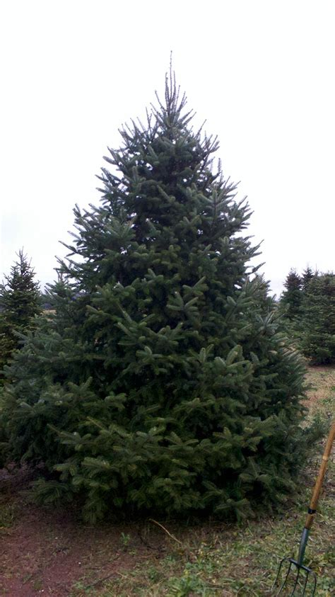 wholesale canaan fir trees