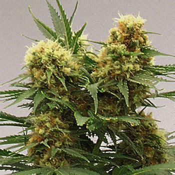 lade hps 400w skunk 1 growi seeds amsterdam seedfinder