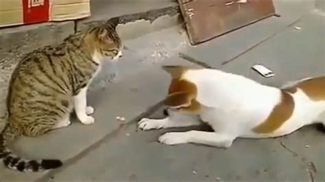 cat vs fight angry cat fighting with dogs cat vs fight stop laughing if you can extremely