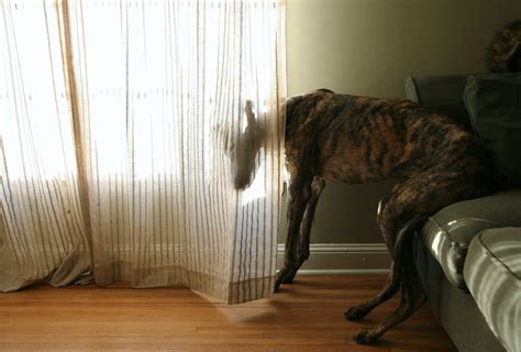 dog curtains dog archives full grown people
