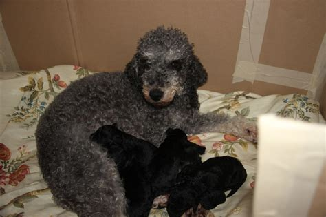 bedlington terrier puppies for sale bedlington terriers for sale brighouse west pets4homes