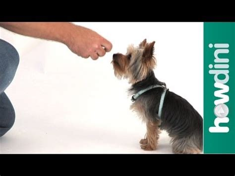 how to teach a yorkie to roll how to a yorkie funnydog tv