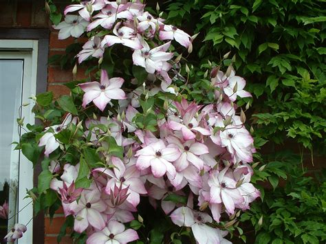 Clematis Fond Memories 3239 by New Pride Of Place Plants Clematis Florida Fond