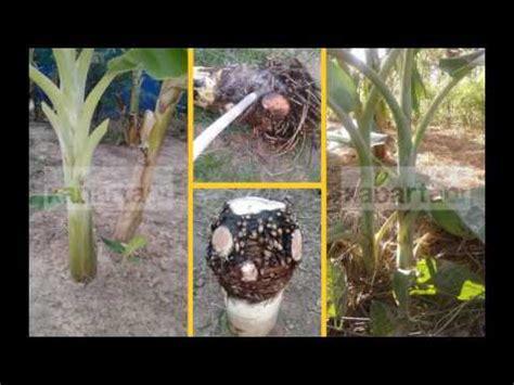 Bibit Pisang Cavendish Lumajang teknik pembibitan pohon pisang doovi