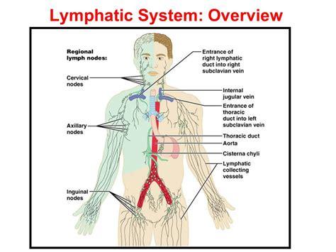 lymphatic drainage system diagram lymphatic system negative feedback wiring diagrams