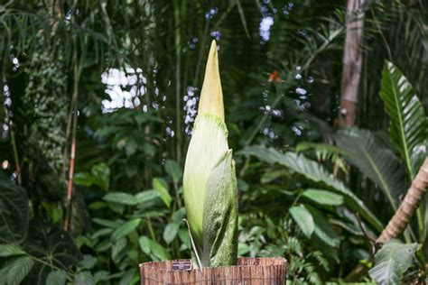 botanical gardens corpse flower untapped staff picks corpse flower to bloom at nybg