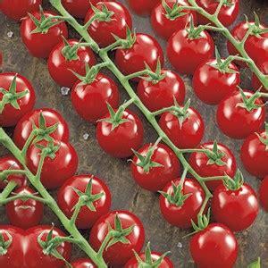 pomodori in vaso concime pomodoro a ciliegia paki f1 acquistare trapiantare e