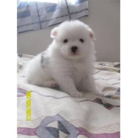 free puppies in fresno somewhere2morrow pomeranians pomeranian breeder in fresno california listing id 19982